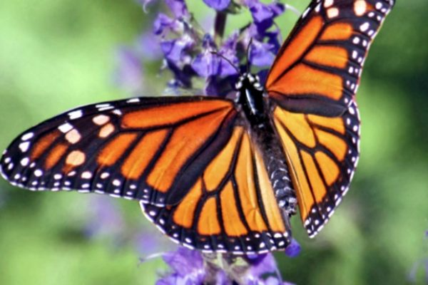 Monarch butterfly on a tall purple flower
