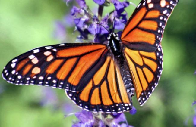 Monarch butterfly on a tall purple flower